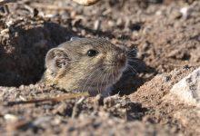 Dream a Swarm of Mice Interpretation