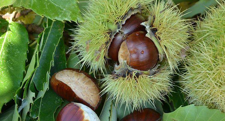 Chestnut Dream Interpretation